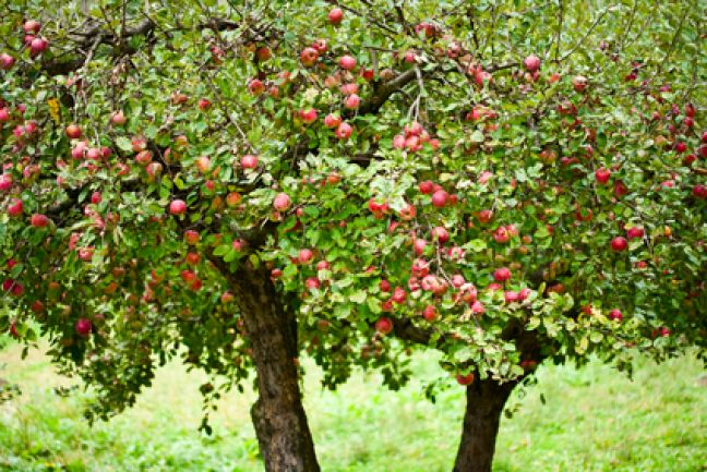 Dutch apple harvest lowest in decade, prices set to soar