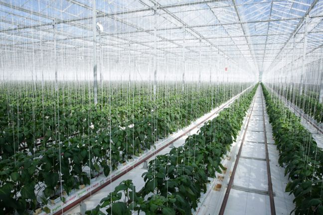 Geothermal energy is converted into electricity and used to heat the Gourmet Mokai glasshouse in New Zealand which grows tomatoes and peppers. UN Photo/Evan Schneider