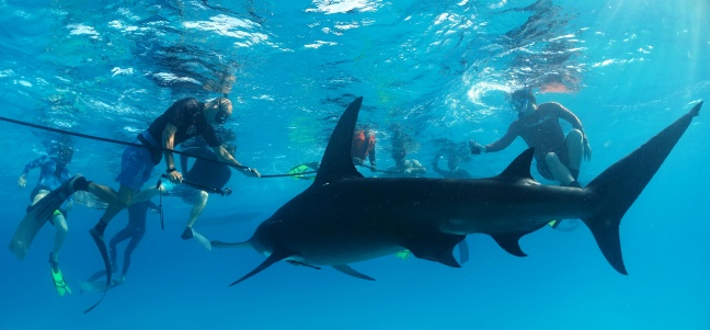 Dutch Caribbean Nature Alliance (DCNA) Board Members swim with a Great Hammerhead Shark (photo Angelo Villagomez/ PEW Charitable Trusts). Dutch National Postcode Finances Lottery One of Largest Global Shark Conservation Projects