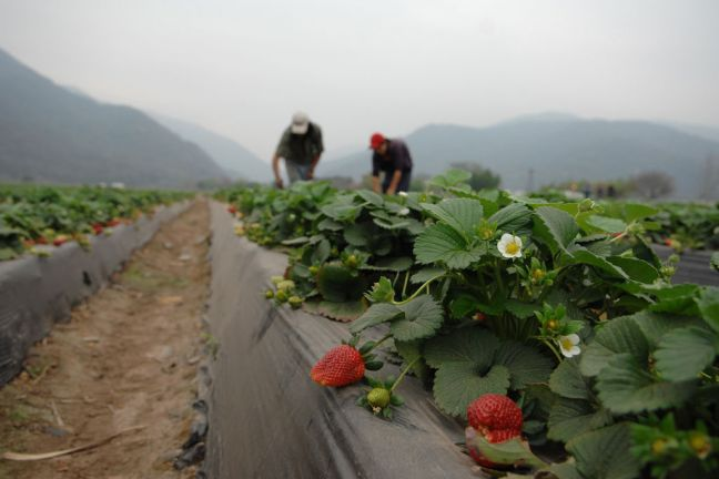 Agriculture workers on a strawberry farm in Argentina. Photo: World Bank/Nahuel Berger