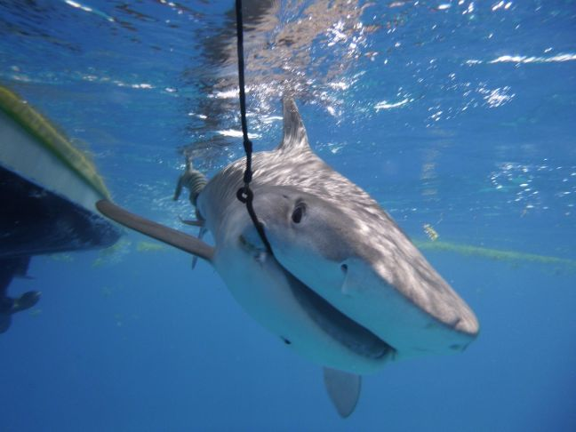A tiger shark being tagged in St Maarten waters.