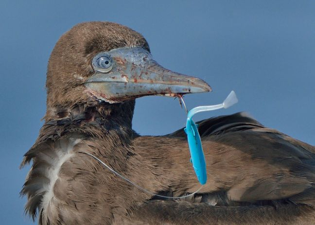 A young Brown Booby caught on a fishing lure. Many kinds of plastic are dangerous to Caribbean birds. (Photo by Michiel Oversteegen)