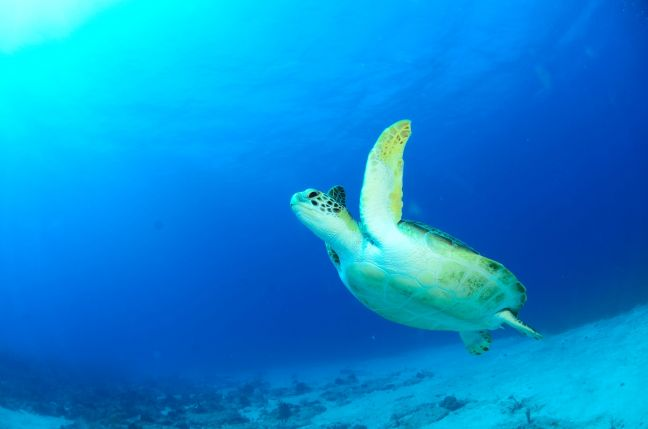 Beautiful green sea turtle in the Man of War Shoal Marine Protected Area Sint Maarten (photo credit Leslie Hickerson)