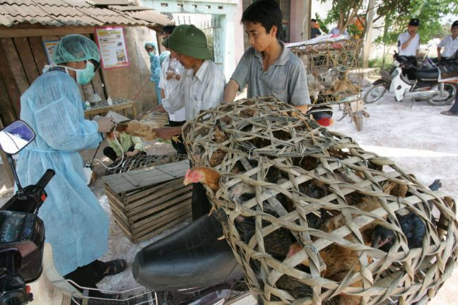 Veterinary efforts to contrast avian influenza strains have been bolstered across Asia. Photo: FAO/Hoang Dinh Nam