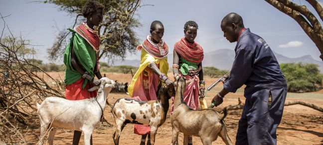 ©FAO/Luis Tato A vaccination programme against peste des petits ruminants is carried out in Samburu in central Kenya in September 2017.
