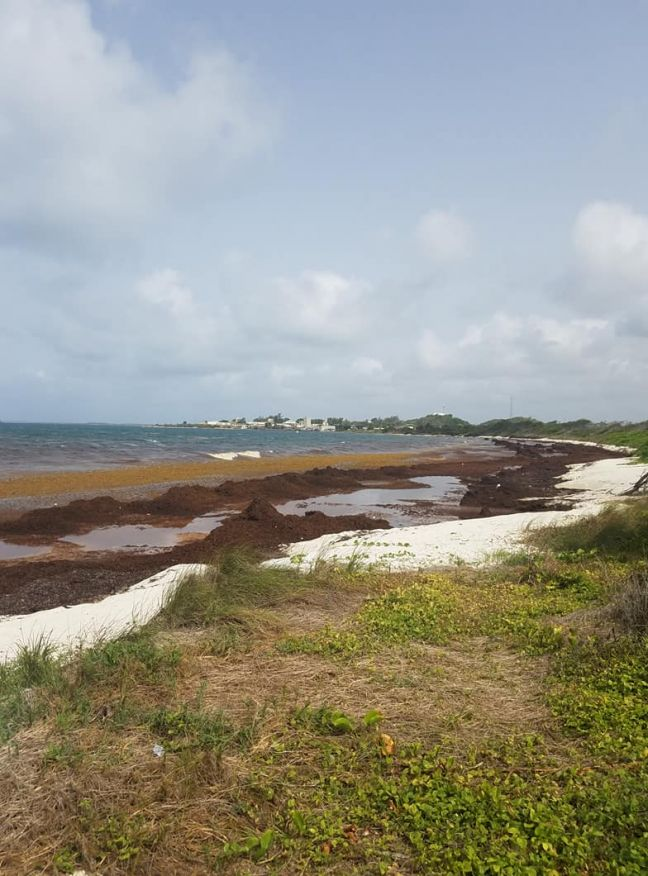 The New Normal: Government's will need an annual Sargassum Seaweed Removal Plan
