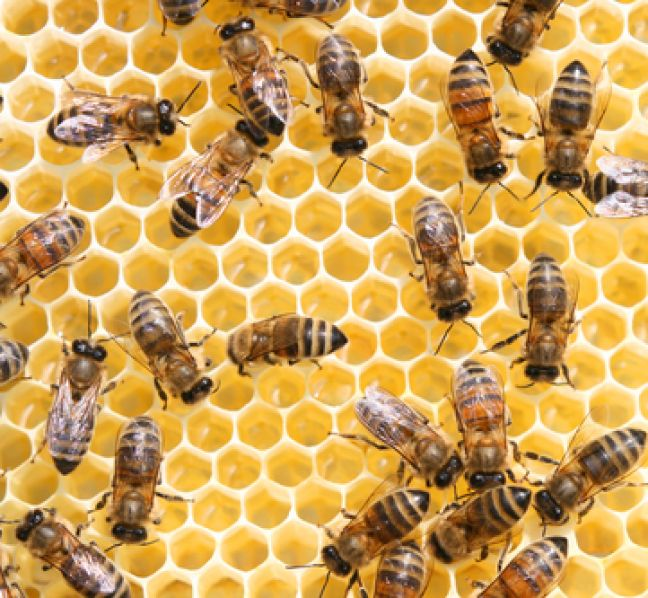 About to get busier: Dutch scientists train bees to sniff out coronavirus