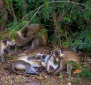 Nature Foundation Issues Tips on How Community Can Safeguard Against Issues Posed by Monkeys