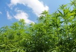 Regulated marijuana trial plans should be bigger, says Council of State