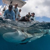 Week-long Shark Research to be Conducted in St. Maarten Waters