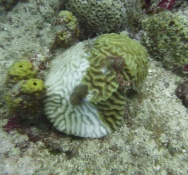 Nature Foundation Researches the Immense Impact of Coral Disease on Reefs